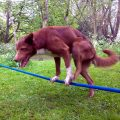 acrobatic-dog-handstand-rope_feat