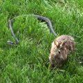 snake-rabbit-fight_feat