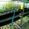 growing-marijuana_feat