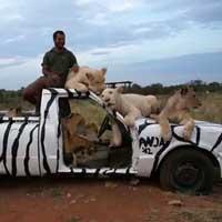lions-on-a-zebra-car_feat