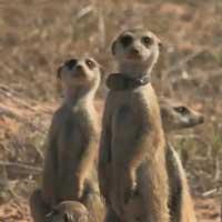 magic-meerkat-moments_feat