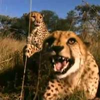 woman-confronts-wild-cheetahs_feat